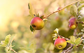 beautiful red apples in the tree under sunny background