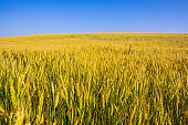 field of golden wheat against the blue sky