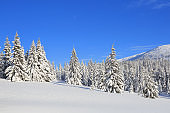 Landscape winter woodland in cold sunny day. Spruce trees covered with white snow. Wallpaper snowy background. Location place Carpathian, Ukraine, Europe.