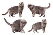 Collage of four scottish folded cat gray gray color adult short haired white isolated background