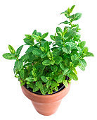 Leaves of  Peppermint growing in a pot isolated on white background. Melissa, Mint, spearmint herb. Gardering concept