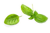 Basil herb leaves isolated on white background.