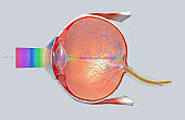 3D illustration of a cross-section of the human eye in a side view