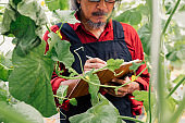 Close up of senior South East Asian farmer examining and checking agriculture plants.