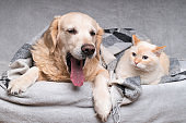 Happy young golden retriever dog and cute mixed breed ginger cat under cozy tartan plaid. Animals warms under black and white blanket in cold winter weather. Friendship of pets. Pets care concept.