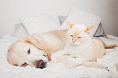 Young golden retriever dog and cute mixed breed red cat on cozy plaid. Animals warms together on white blanket in cold winter weather. Friendship of pets. Pets care concept.