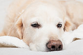 Bored sad golden retriever dog on white scandinavian style plaid. Pet warms on blanket in cold winter weather. Pets friendly and care concept.