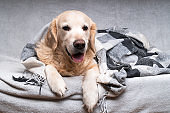 Happy cute young golden retriever dog  warms under cozy black, gray and white tartan plaid in cold winter weather. Pets care concept. Animal indoor in home or hotel bedroom. Copy space empty for text.