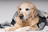 Cute young golden retriever dog  warms under cozy black, gray and white tartan plaid in cold winter weather. Pets care concept. Animal indoor in home or hotel bedroom. Copy space empty for text.