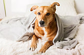 Bored young ginger mixed breed dog under light gray plaid in contemporary bedroom. Pet warms under a blanket in cold winter weather. Pets friendly and care concept.