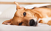 Bored young ginger mixed breed dog on light gray plaid in contemporary bedroom. Pet warms on blanket in cold winter weather. Pets friendly and care concept.