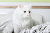 Cozy young white mixed breed cat on light gray plaid in contemporary bedroom. Pet warms on blanket in cold winter weather. Pets friendly and care concept.