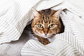 Energizer young tabby mixed breed cat under light gray plaid in contemporary bedroom. Pet warms under a blanket in cold winter weather. Pets friendly and care concept.