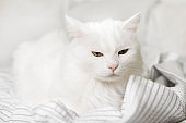 Sleepy young white mixed breed cat on light gray plaid in contemporary bedroom. Pet warms on blanket in cold winter weather. Pets friendly and care concept.