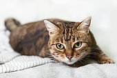 Energizer young tabby mixed breed cat on light gray plaid in contemporary bedroom. Pet Kitten preparing to jump. Pets friendly and care concept.