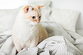 Bored young light ginger mixed breed cat under light gray plaid in contemporary bedroom. Pet warms on  blanket in cold winter weather. Pets friendly and care concept.