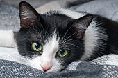 Beautiful young green eyes mixed breed cat warms under black, gray and white tartan plaid in cold winter weather.  Pets care concept. Animal indoor in home or hotel bedroom. Copy space empty for text.