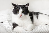 Bored young black and white mixed breed cat on light gray plaid in contemporary bedroom. Pet warms on blanket in cold winter weather. Pets friendly and care concept.
