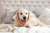 Happy smiling golden retriever puppy dog in luxurious bright colors classic eclectic style bedroom with king-size bed and bedside table. Pets friendly  hotel or home room.