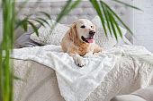 Happy golden retriever puppy dog in luxurious bright colors classic eclectic style bedroom with king-size bed and bedside table, green tropical plants. Pets friendly  hotel or home room.