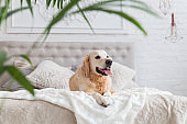 Happy golden retriever puppy dog in luxurious bright colors classic eclectic style bedroom with king-size bed and bedside table, green plants. Pets friendly  hotel or home room.