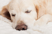Bored sad sleeping golden retriever dog on white scandinavian style plaid. Pet warms on blanket in cold winter weather. Pets friendly and care concept.