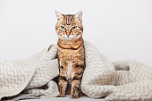 Cute young tabby mixed breed cat under light gray wool plaid in contemporary bedroom. Pet warms under a blanket in cold winter weather. Pets friendly and care concept.