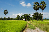 paddy rice fields and farmer hut