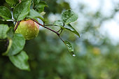 Branch of apple tree with ripe fruit in garden, closeup
