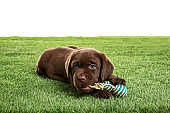 Chocolate Labrador Retriever puppy playing with toy on green grass against white background