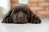 Chocolate Labrador Retriever puppy sleeping on floor indoors