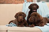 Chocolate Labrador Retriever puppies with blanket on sofa indoors