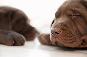 Chocolate Labrador Retriever puppies sleeping on floor indoors, closeup