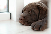 Chocolate Labrador Retriever puppy on  windowsill indoors