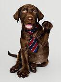 Cute chocolate Labrador Retriever in a red blue and white striped necktie