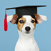 Cute Jack Russell Terrier in a graduation cap