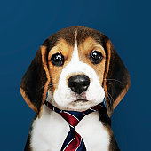 Cute Beagle puppy in a red blue and white striped necktie