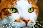 Close-up of head of handsome ginger-and-white cat