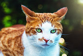 Startled pet ginger cat with his ears back in leafy garden