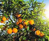 Perfect oranges growing on a tree in an orchard