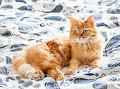 Cute ginger cat lying in bed. Fluffy pet going to sleep here. Cozy morning bedtime at home.