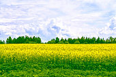 Field with bright yellow rapeseed flowers
