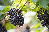 Grape harvest farm