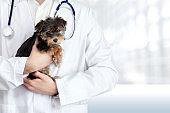 Veterinary doctor examining a black Maltese puppy