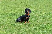 Black dachshund puppy