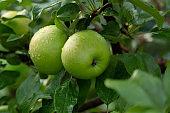 Green apples on tree branch