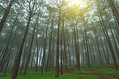 Pine forest in fog at morning.