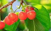 Cherry tree with ripe cherries