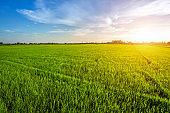 Beautiful green cornfield with sunset sky background.