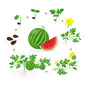 Watermelon plant growth stages from seed, seedling, sprout, flowering and ripe fruit on mature plant with roots. Infographic elements isolated on white background. Watermelon cross section flat design